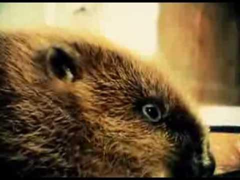 Домашний бобер Семен видео