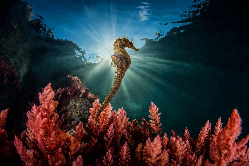 Морской конек в Неаполитанском заливе