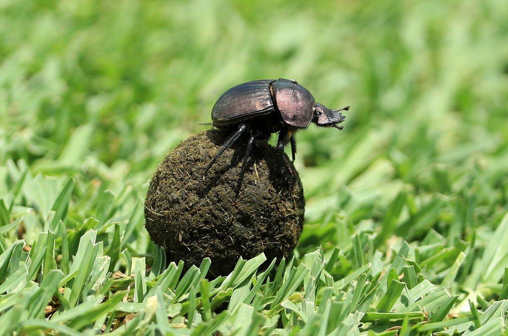 Навозный жук катит свою добычу
