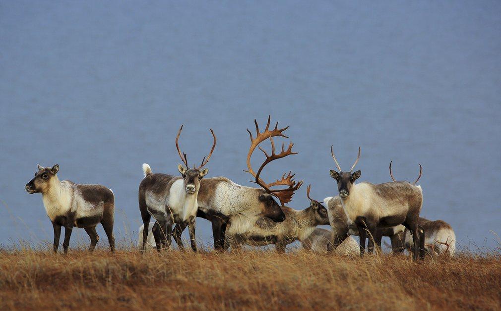 Карибу(Северный олень) в Западном заповеднике арктической Аляски