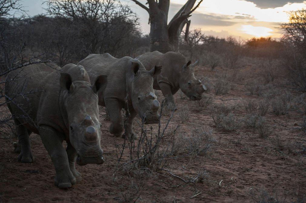 Носороги заповедника в Южной Африке