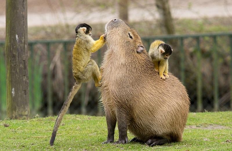 капибара с обезьянами