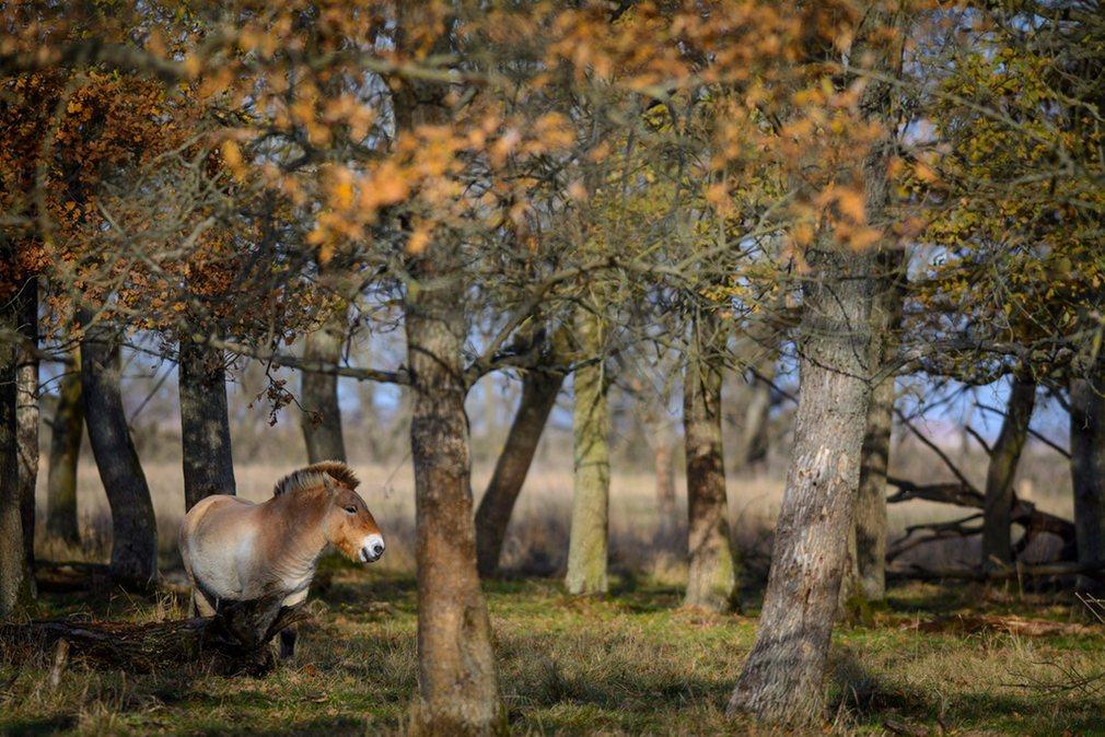 лошадь Пржевальского в Хортобадь, Венгрия