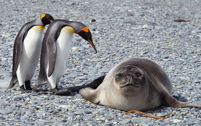 пингвины и морской котик