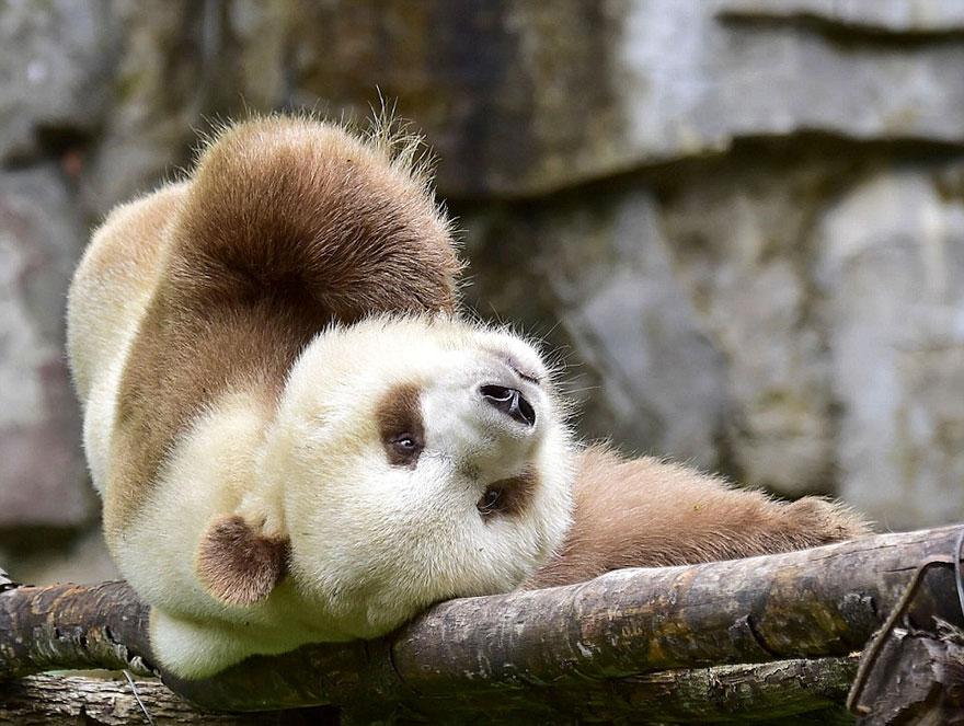 коричневая панда