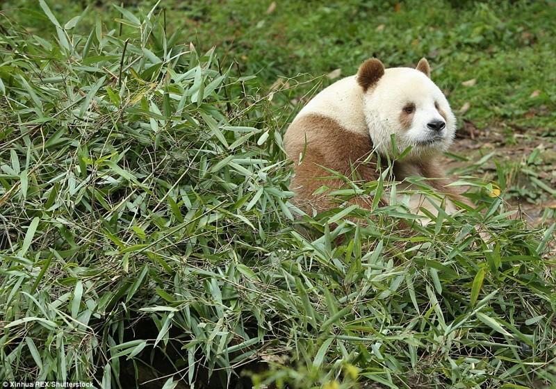 кизай -коричневая панда