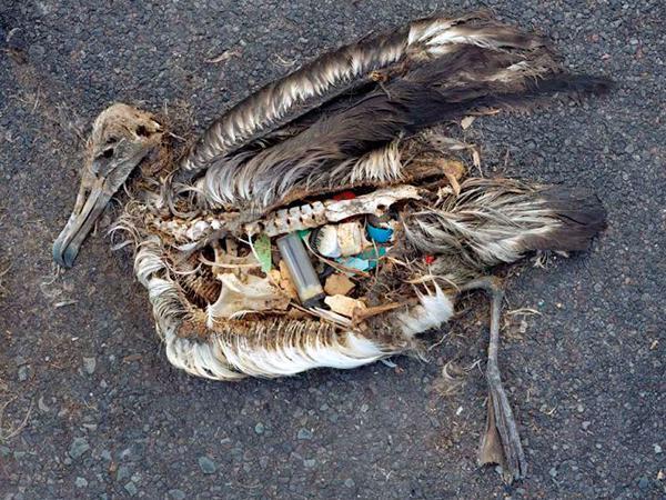 погибающие птицы от мусора