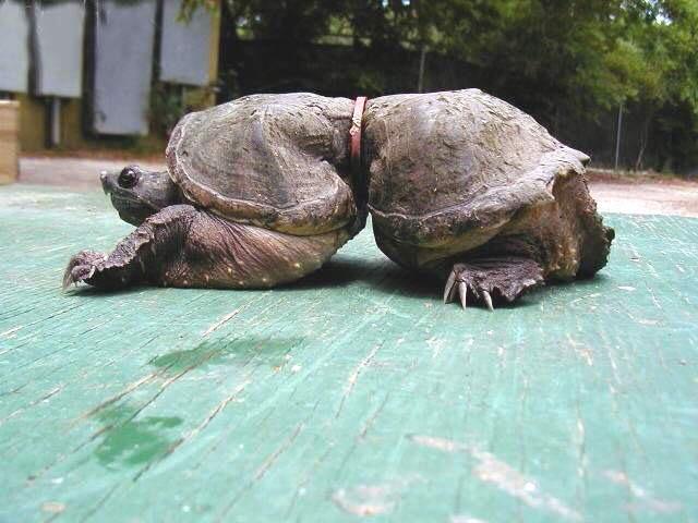 черепаха с кольцом