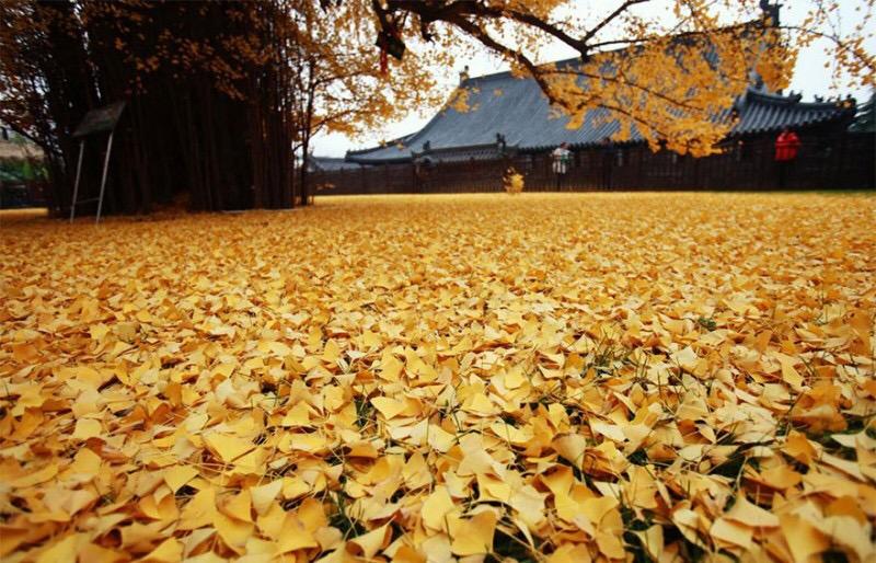 Листья гингко