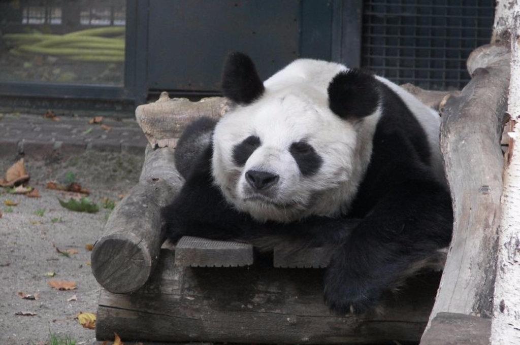 панды в зоопарке