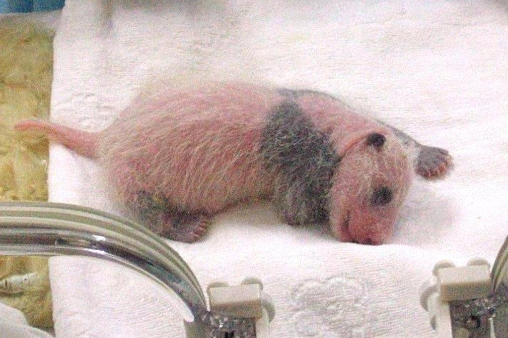 новорожденная панда