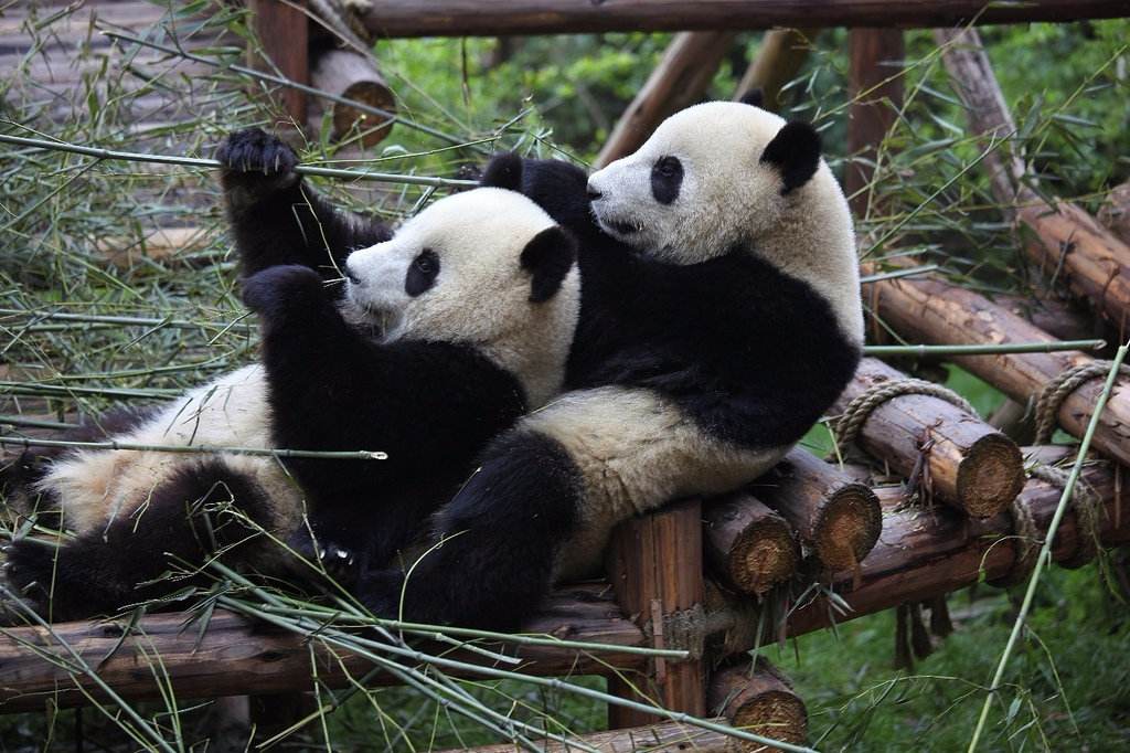 панда в зоопарке фото