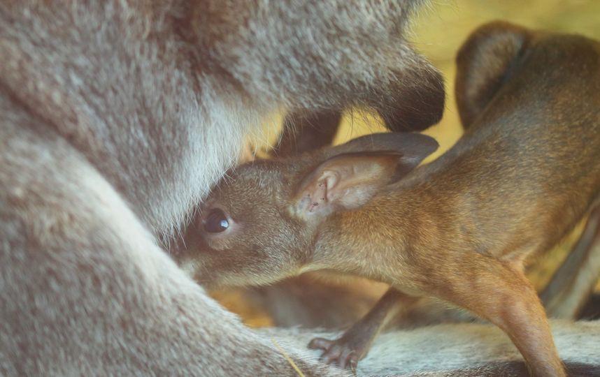 кенгуру, пополнение в Ленинградском зоопарке