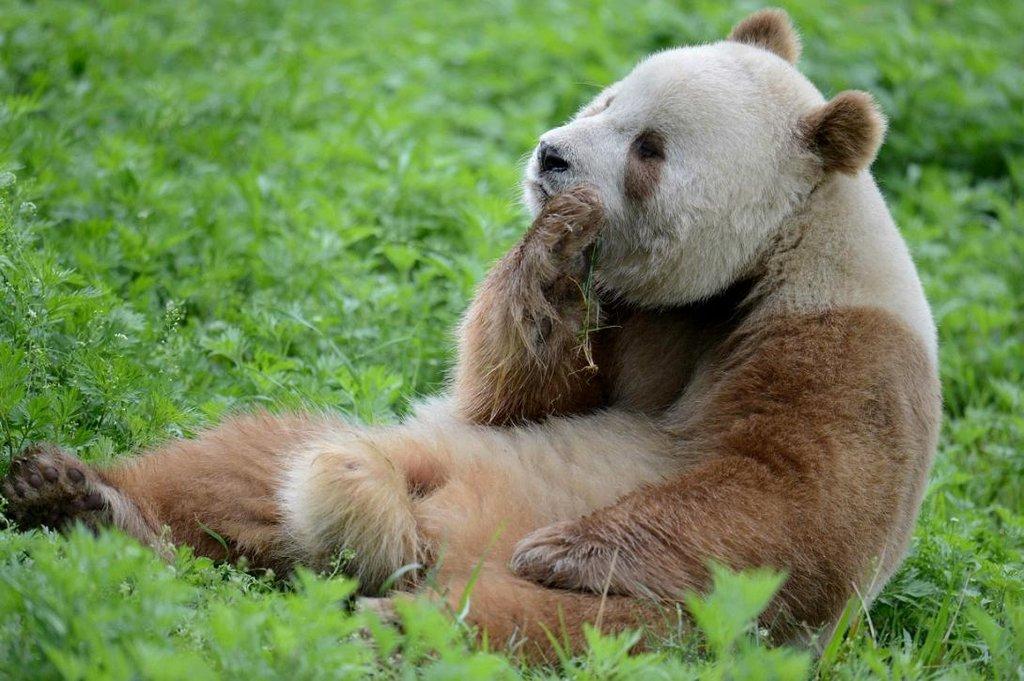 коричневыя панда