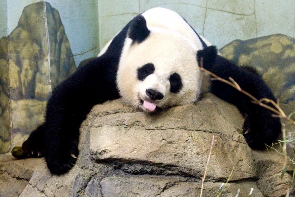 бамбуковый медведь, панда
