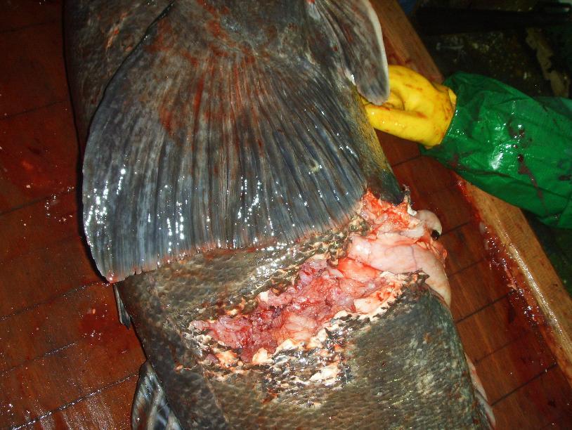 следы укуса кальмара