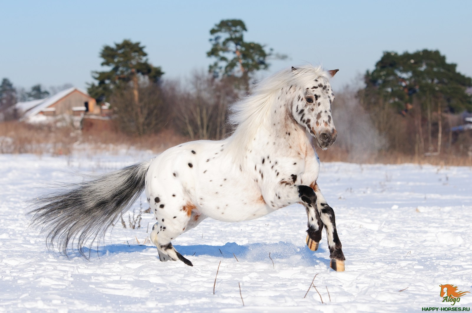 Appaloosa pony runs gallop in winter