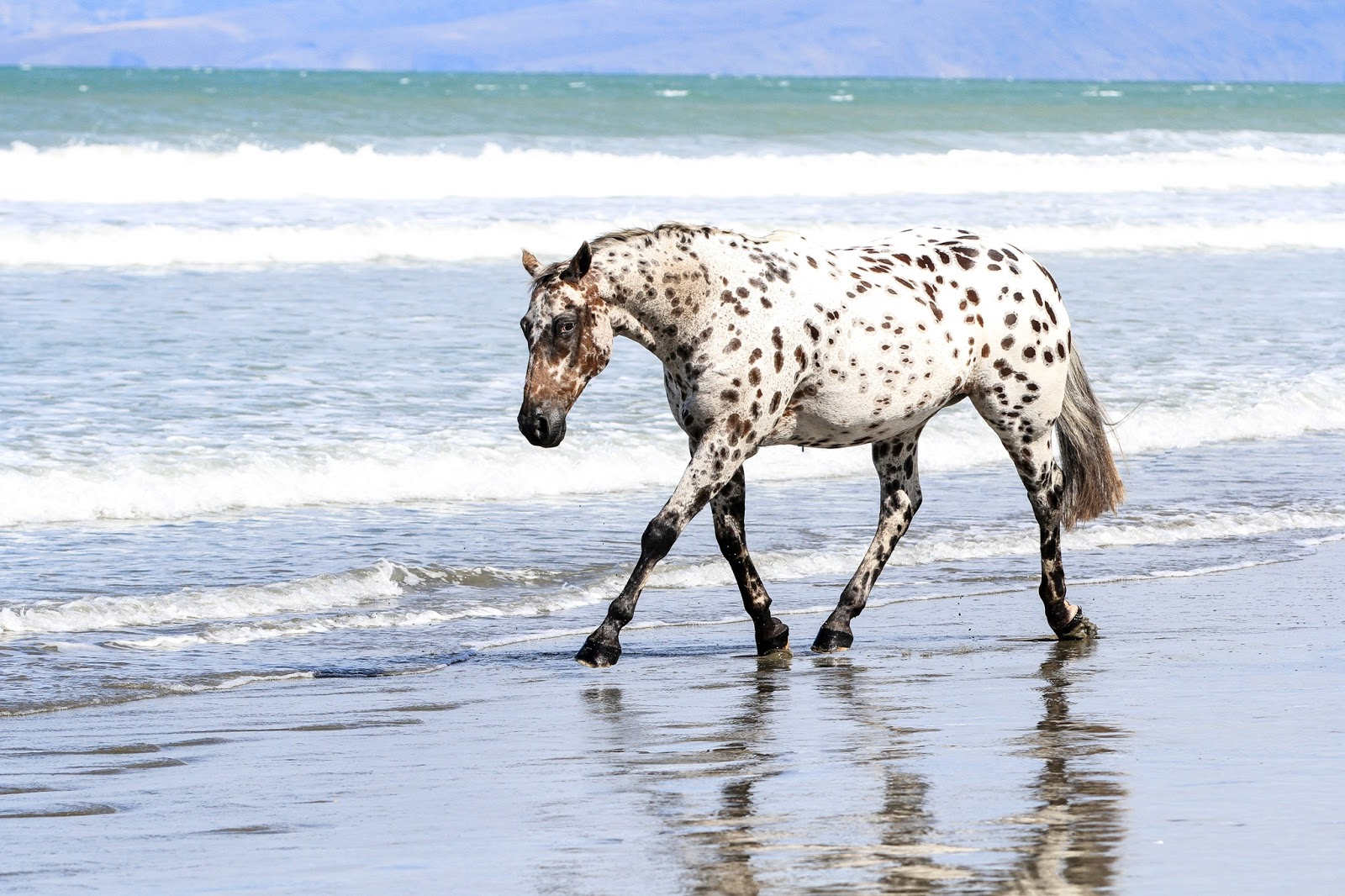 The-beautiful-Appaloosa