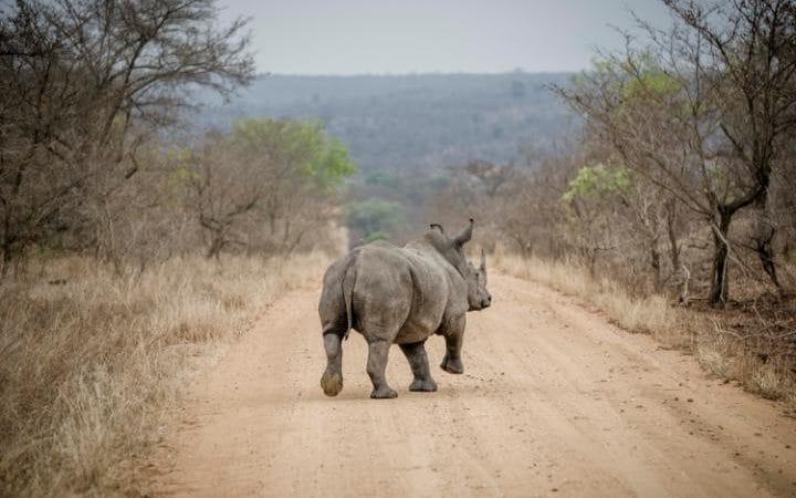 один носорог на дороге