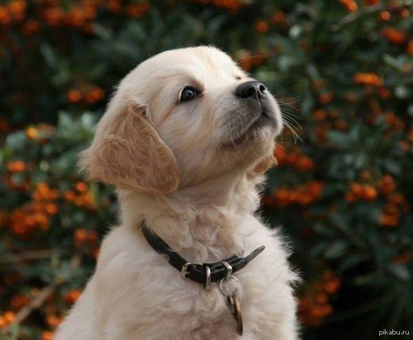 щенок, собака-повадырь