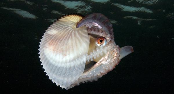 Аргонавт моллюск фото