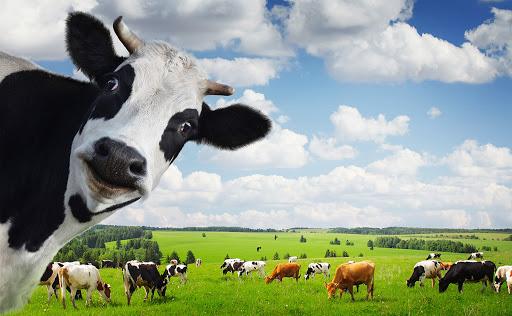 как коровы влияют на глобальное потепление